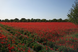 Poppies --- oh, I feel so sleepy!