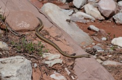 Garter Snake, Zion