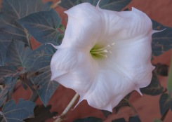 Sacred Datura in Escalante (huge flower!)