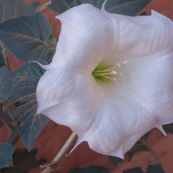 Sacred Datura in Escalante (huge flower!)