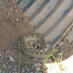 Great Basin Rattlesnake, Nevada